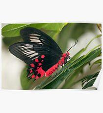 Papilionidae - Atrophaneura semperi Poster