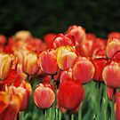 A Sea Of Tulips by AcePhotography
