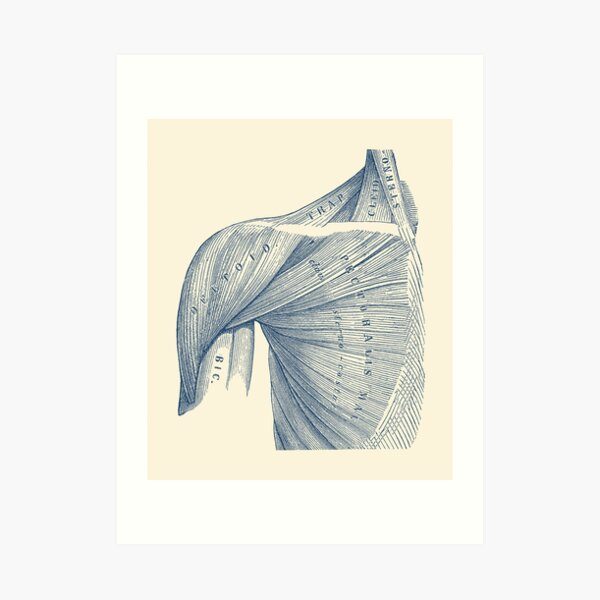 Chest and Shoulder Muscular System Art Print