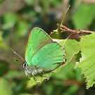 The Green Hairstreak  by ienemien