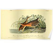 James Audubon Vector Rebuild - The Birds of America - From Drawings Made in the United States and Their Territories V 1-7 1840 - Great Red-breasted Rail or Fresh Water Marsh Hen Poster