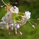 Blossom Japanese Cherry by Jo Nijenhuis