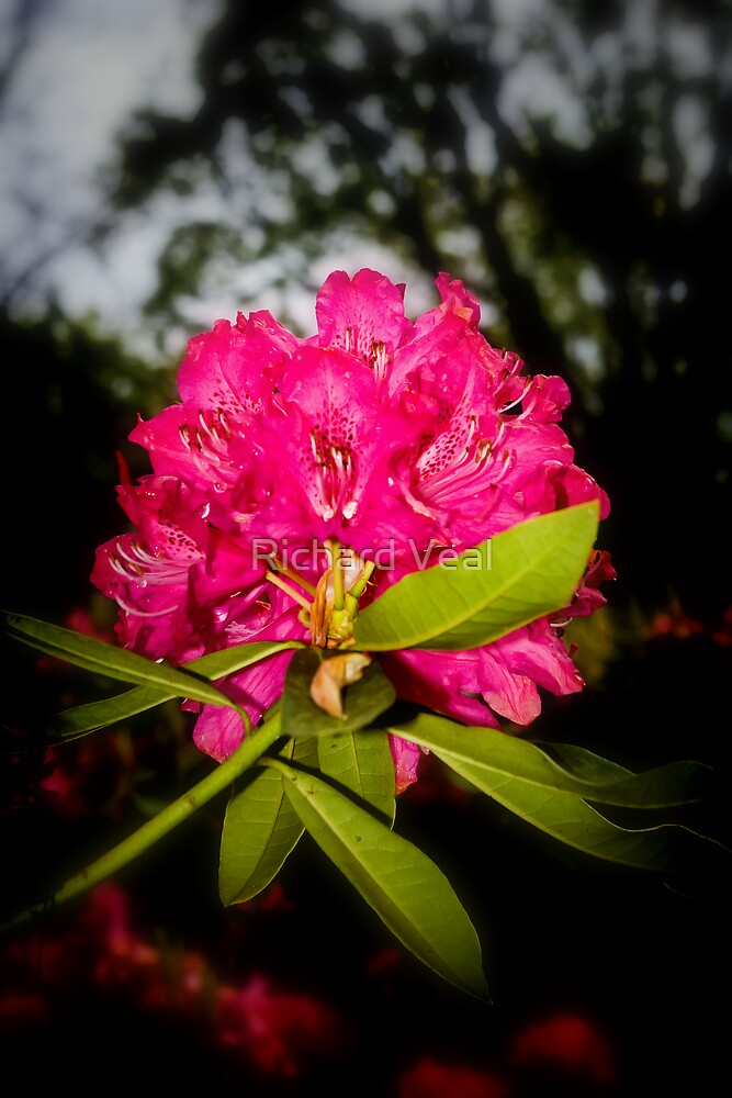 Rhododendron  by kcphotography