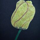 Single Yellow Tulip on a Black Background by lisavonbiela