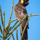 Black Cockatoo in Mirboo North by WendyJC