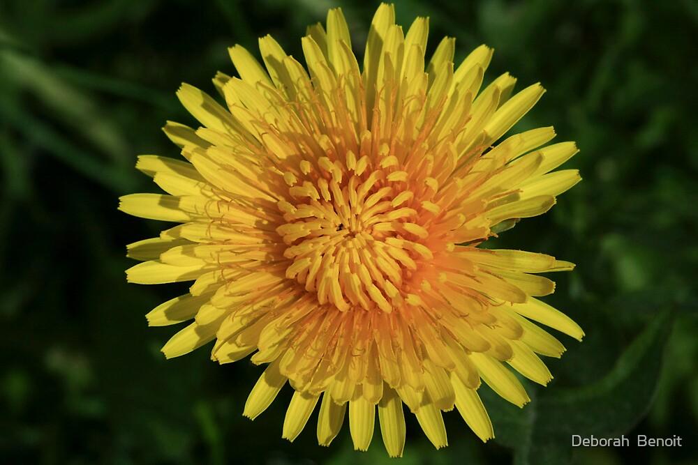 Spring Dandelion by Deborah  Benoit