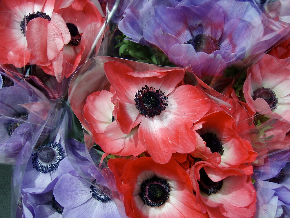 Anemones by DarylE
