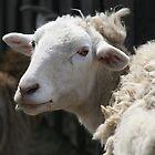 Sheepishly Handsome by PrairieRose
