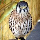 Anastasia - Fluffy Falcon by sstarlightss
