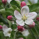 Michigan Apple Blossom by Karen K Smith