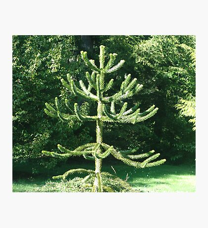 Monkey Puzzle Tree Photographic Print