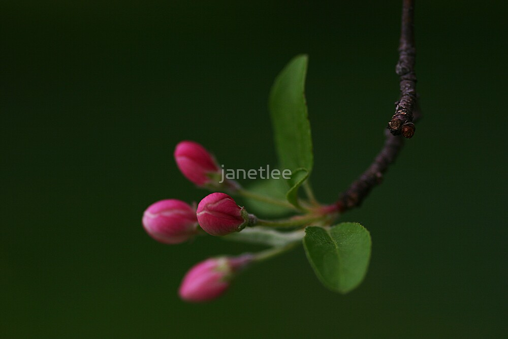 Apple Blossom Buds by janetlee