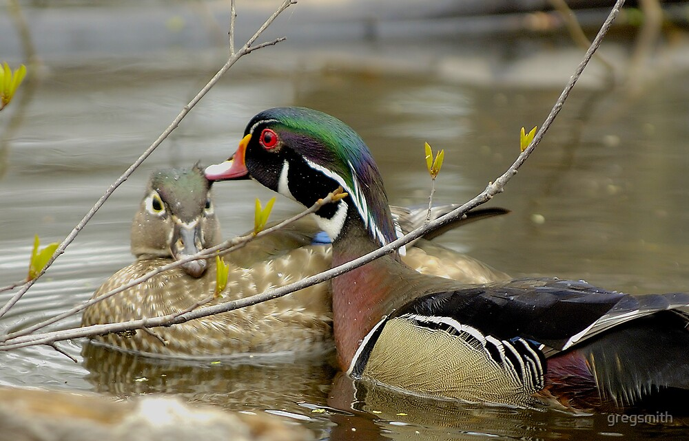 wood duck in love by gregsmith