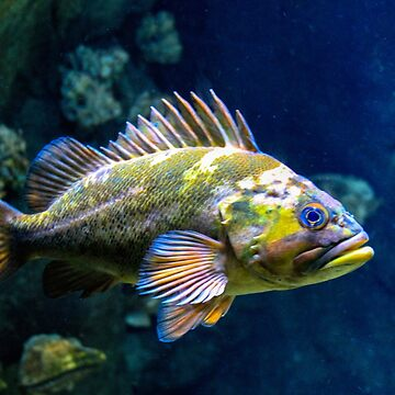 Grumpy Rockfish by bonnie-follett