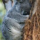 Koala by Aaron Blackwell
