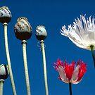 Opium poppies by John Spies