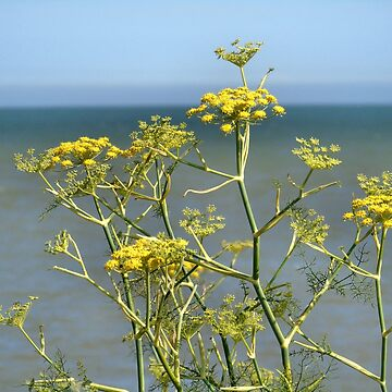Coastal yellow flowers by chihuahuashower