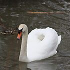 Mute Swans by Alyce Taylor