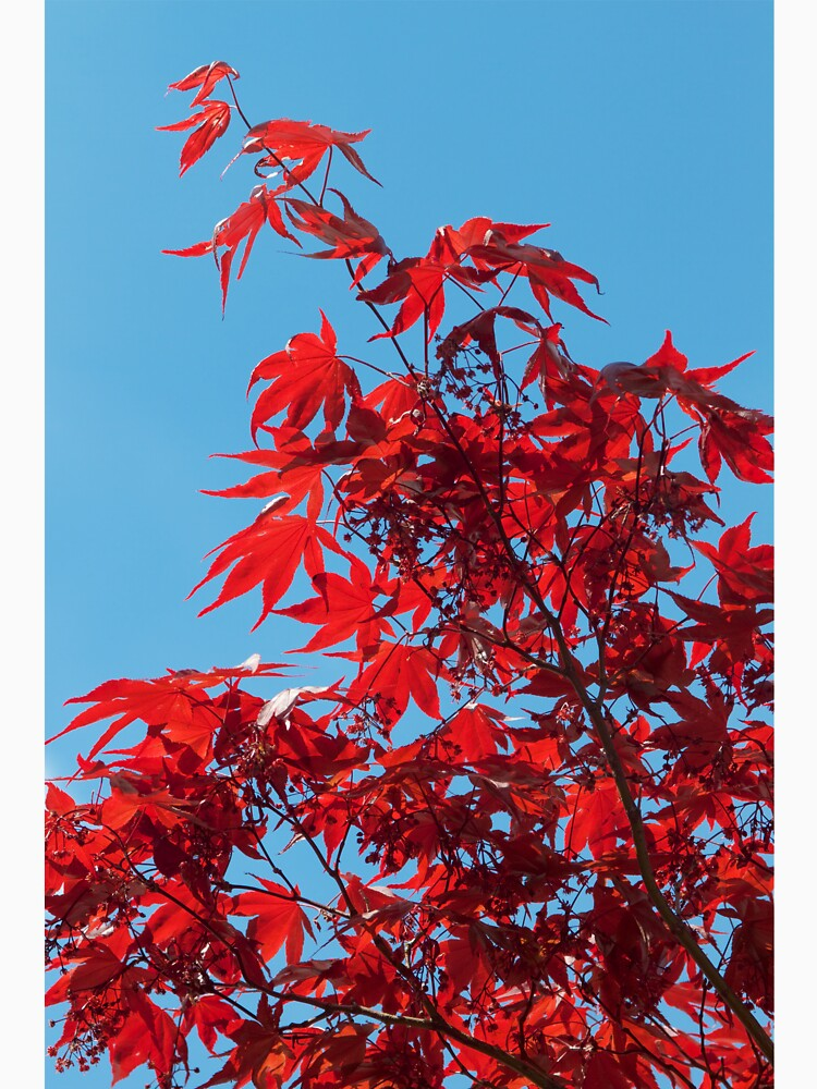Japanese Maple (Acer) Leaves by robcole