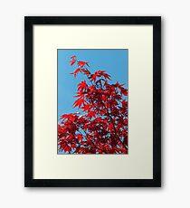 Japanese Maple (Acer) Leaves Framed Print