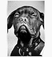 Sumo the dog Poster