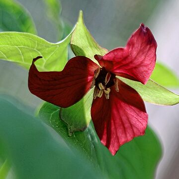 Red Trillium by rural-guy