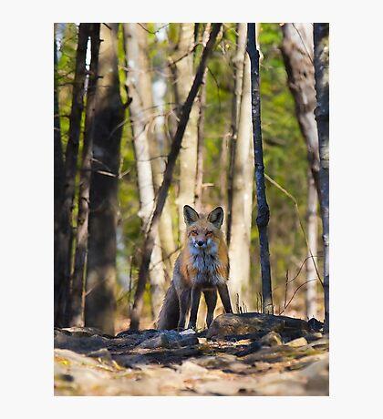 Fox on the rocks Photographic Print