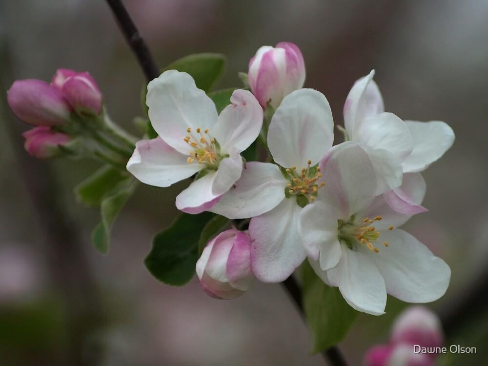 Apple Blossom by Dawne Olson