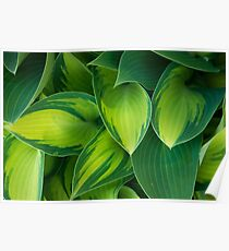 Hosta Camouflage Poster