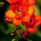 Orange Freesia by Alison Cornford-Matheson