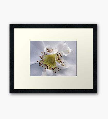 White Wild Rose Framed Print