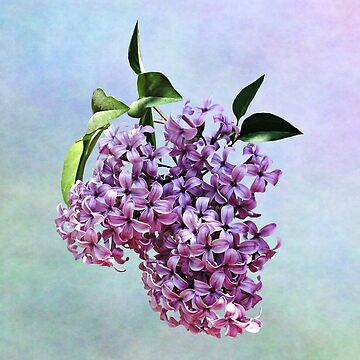 Delicate Pink Lilacs by SudaP0408