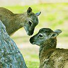 Barbary lambs by Nancy Barrett