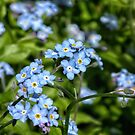 Forget-Me-Nots by Lisa Kent
