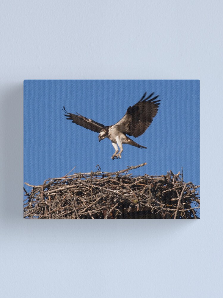 Alternate view of Seahawk Homecoming I Canvas Print