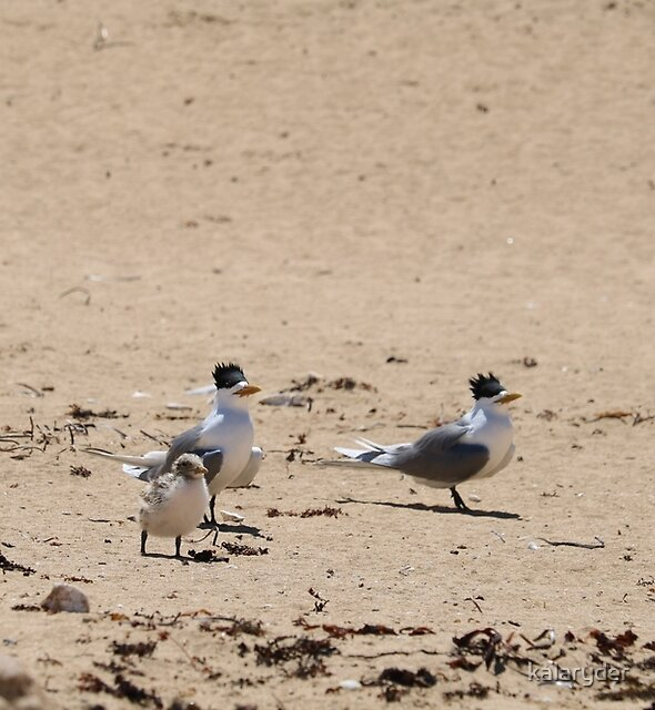We Three Terns by kalaryder