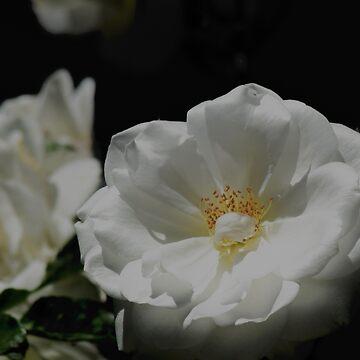 White Rose On Black by LyndaAnneArt