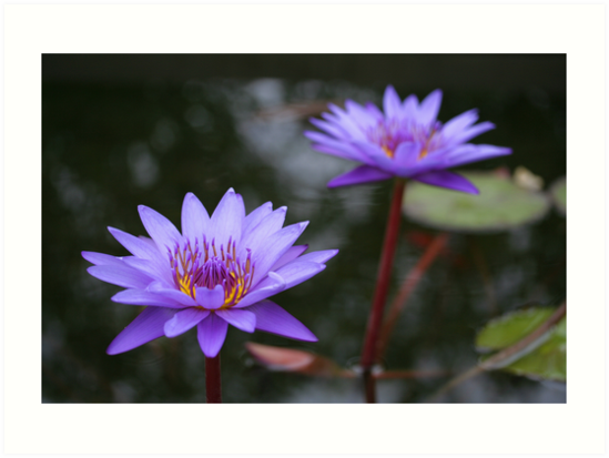 Water Lilies A Symbol Of Peace Grace And Serenity Art Prints By
