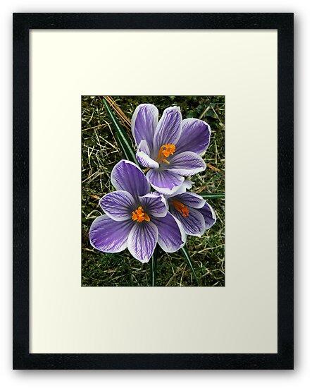 Spring Crocus by Len Bomba