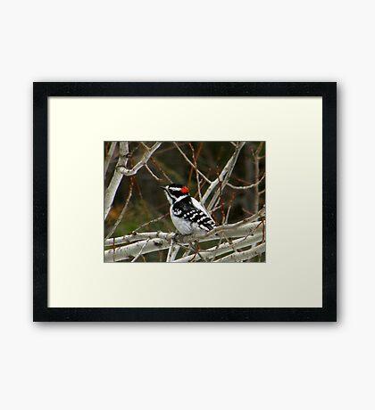 Small Downy Woodpecker Framed Print