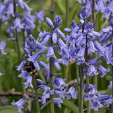 English Bluebells by Violaman