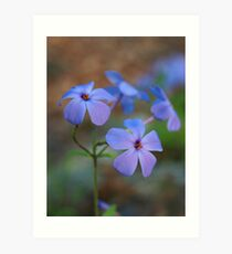 Creeping Blue Phlox Art Print