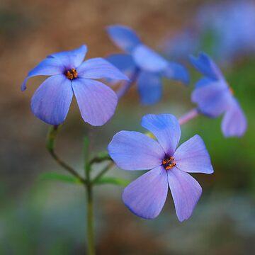 Creeping Blue Phlox by davfoto