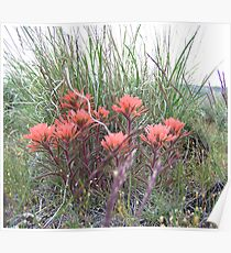indian paint brush #2 Poster