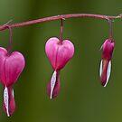 My Bleeding heart by Steve plowman
