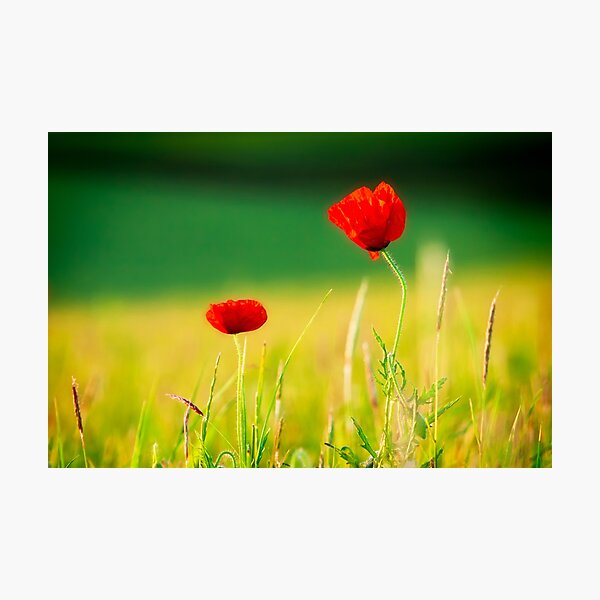 Two Poppies Photographic Print
