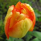 Happy Tulip! by Tracy Wazny