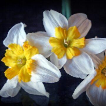 Beautiful Yellow Centered Daffodils by kkphoto1