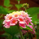 Lantana by DottieDees