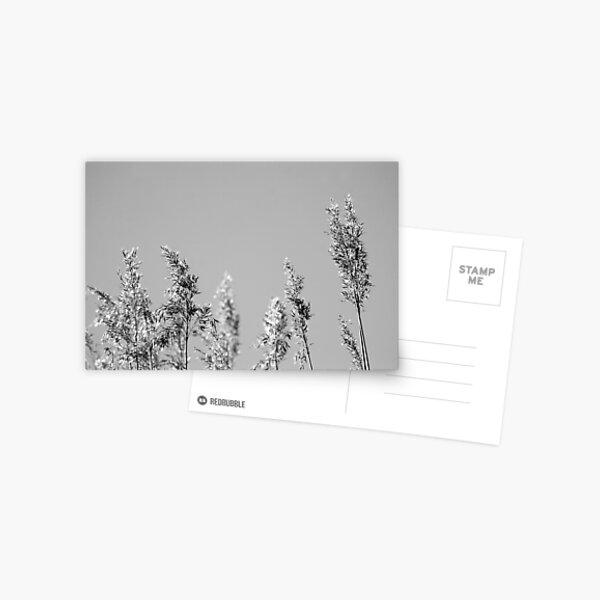 Black&White reed Postcard